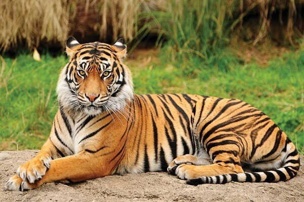 International Tiger Day: Facts about Bengal Tigers which you might not know