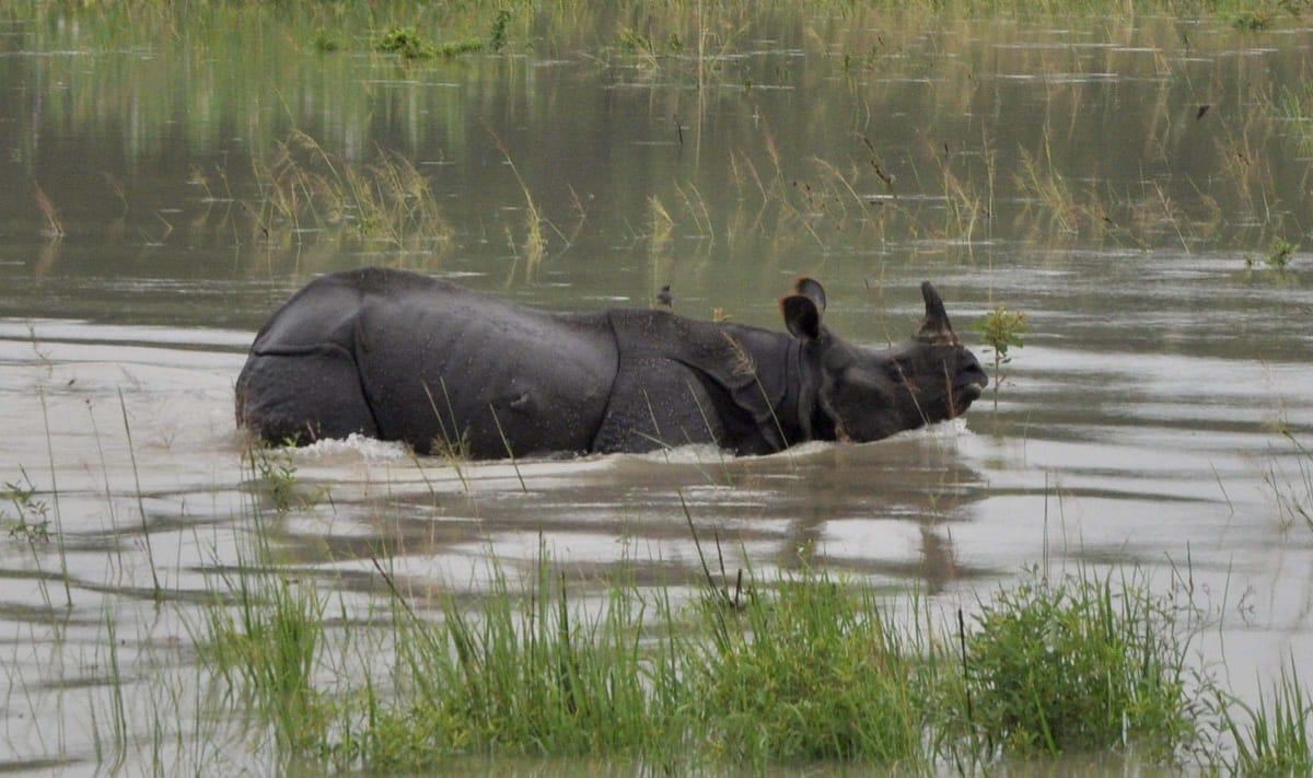 Assam Rhino Kaziranga