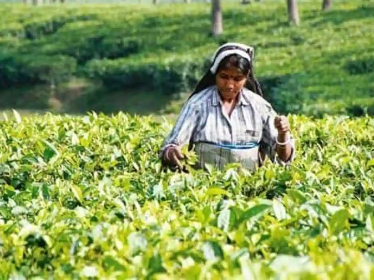 Tea exports down by 14 per cent in first seven months of 2021