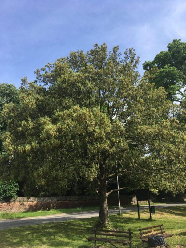 olm oak is an evergreen broadleaf tree native to the Mediterranean region.
