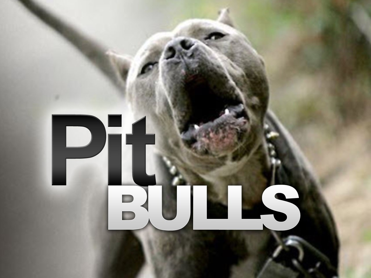 pit bulls_1471129736454.jpg