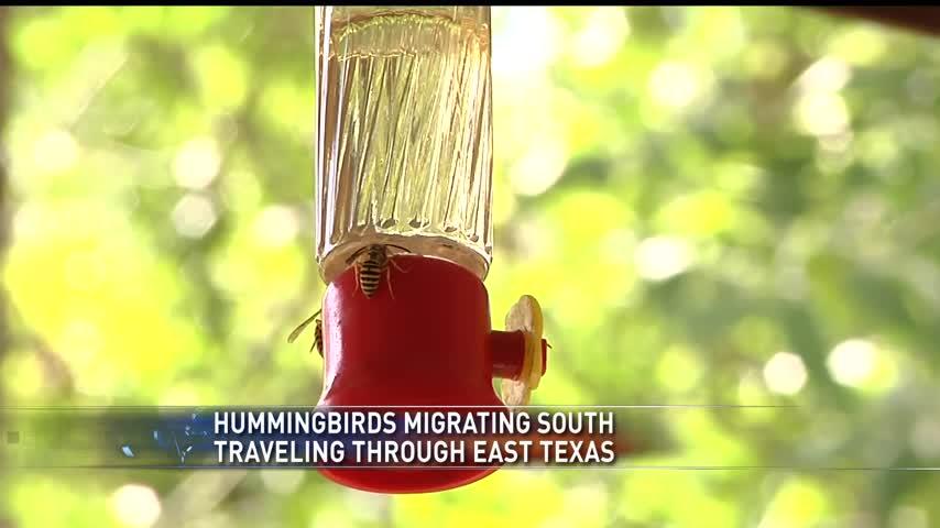 hummingbirds migrating_10607451-159532