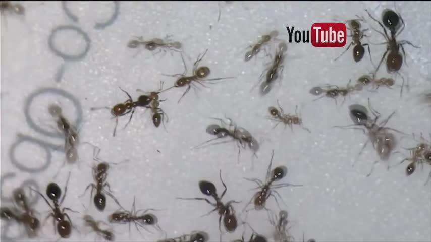 crazy ants_06477302-159532