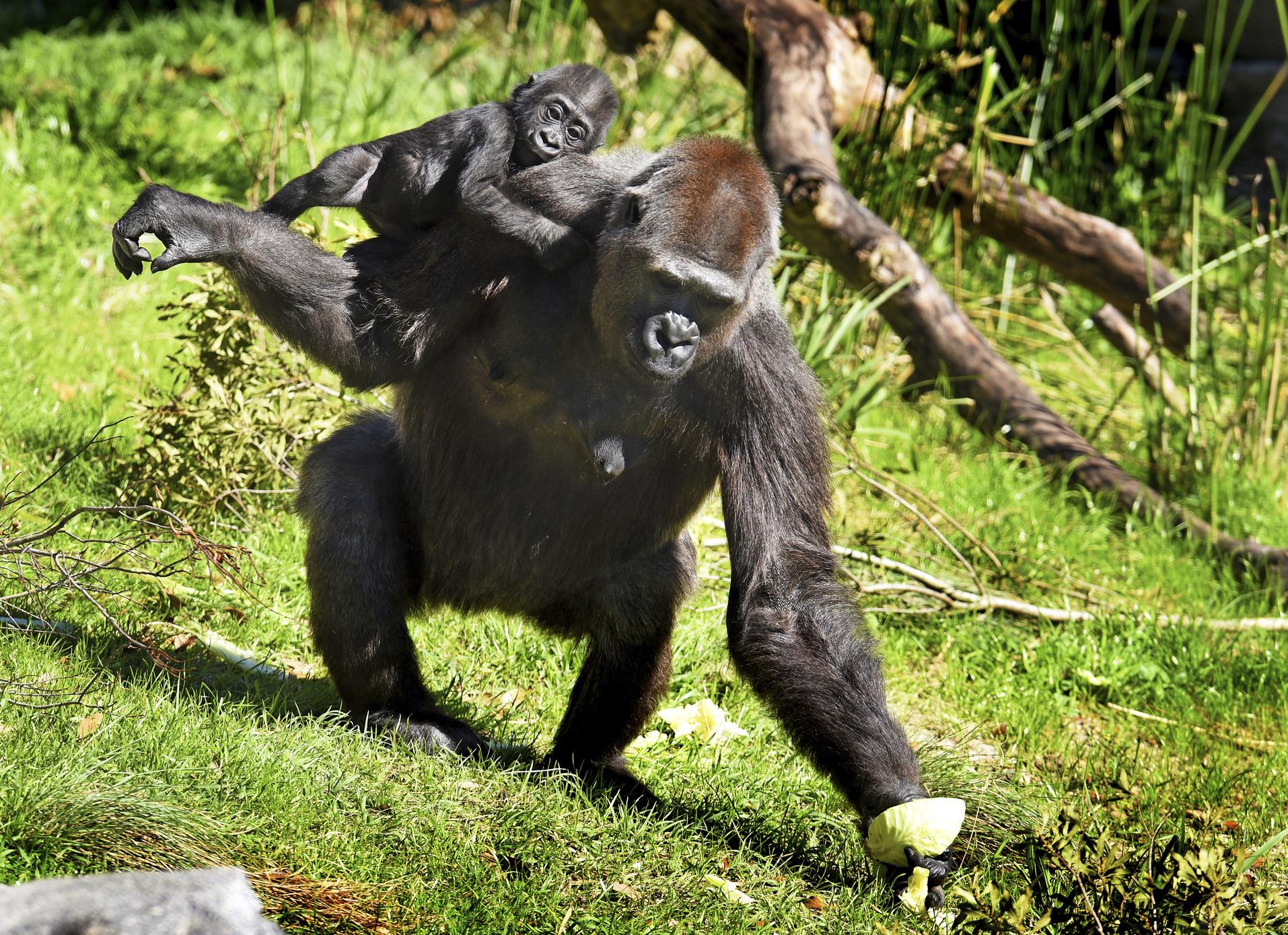 Zoo_Gorilla_Surrogate_47006-159532.jpg02959774