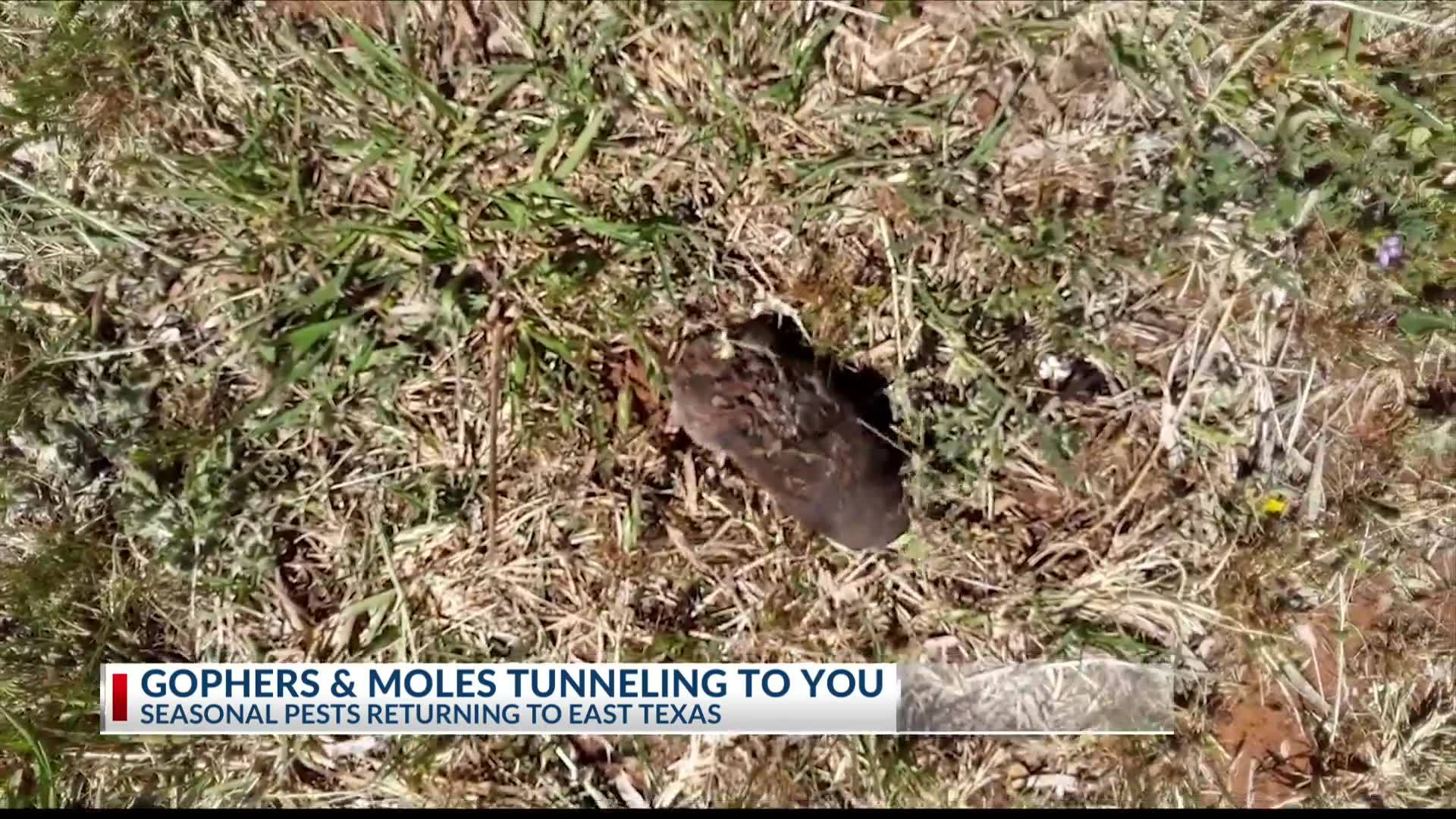 Gophers___Moles_tunneling_to_you_8_20190521234642