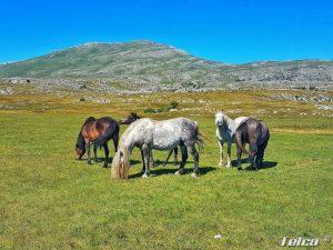 Livanjski konji