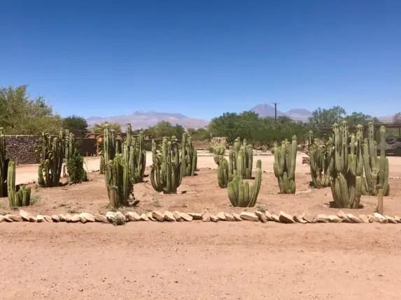 cacti field atacama desert