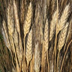 Flint wheat weaver makes big investment to save treasured grain for an ancient art