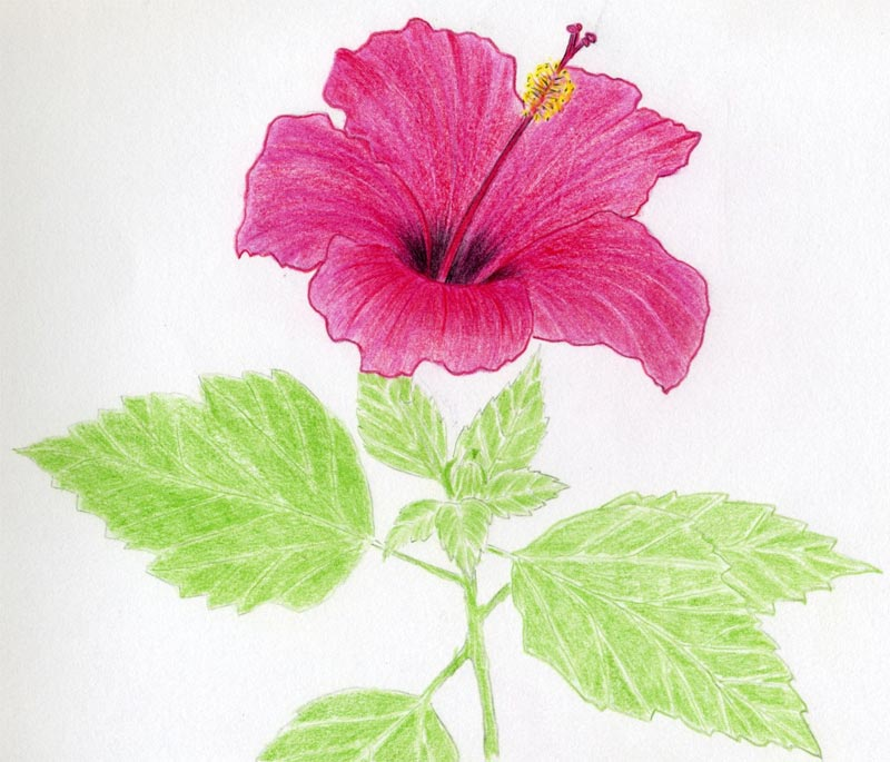Easy Hibiscus Flower Interesting Picturesque Diagrams Www