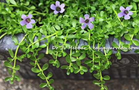 Brahmi plant with flower