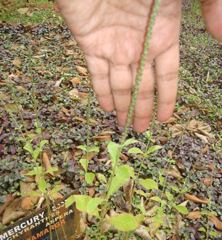 Achyranthes aspera