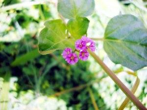 Boerhavia diffusa flower