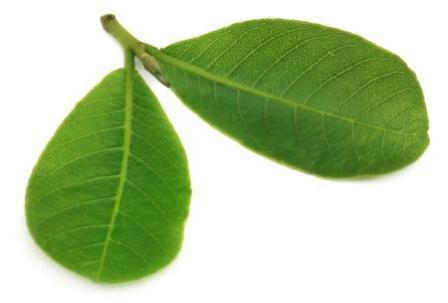 Terminalia arjuna leaves