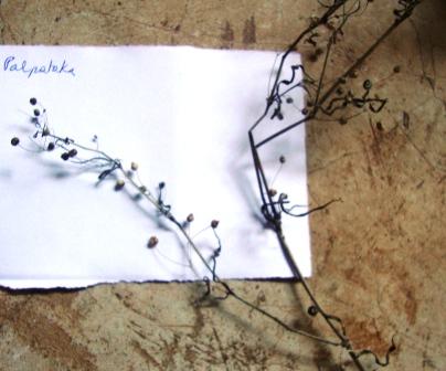 Dry Specimen of Fumaria indica