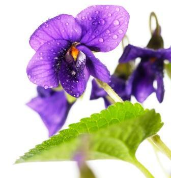 Viola odorata flower with leaf