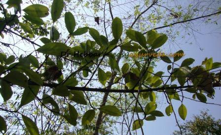 kokum butter tree