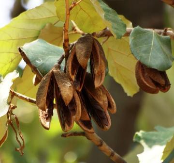 Kanak champa, Pterospermum acerifolium