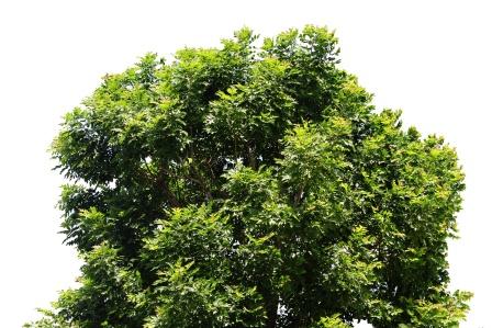 Schleichera oleosa tree