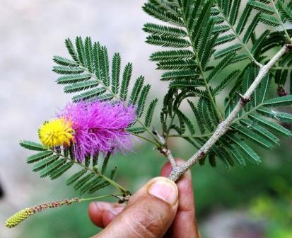 Dichrostachys cinerea twig