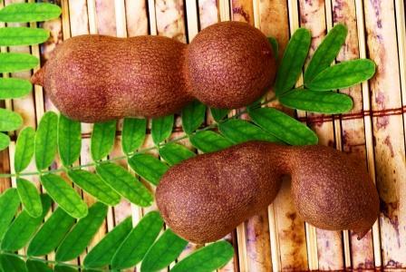 Tamarind (Tamarindus indica) pods and leaves