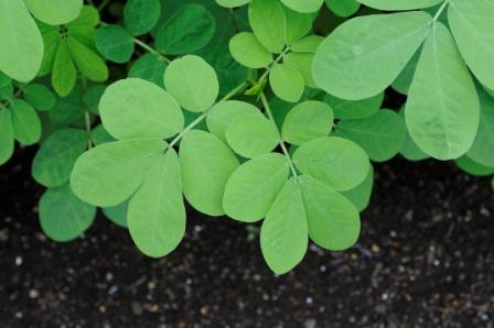 Cassia tora leaves - sickle senna
