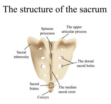sacrum coccyx