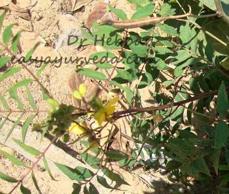Kasamarda - Cassia occidentalis