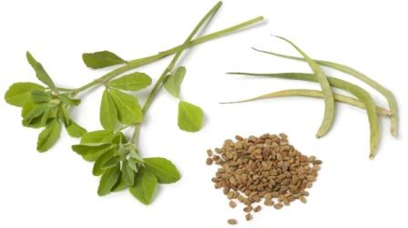 Methi fenugreek seeds twig