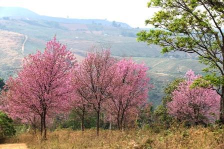 Prunus puddum