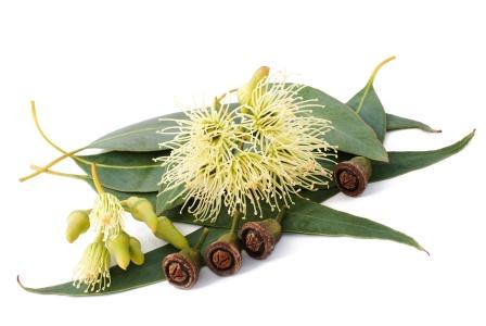 Eucalyptus flower and fruit1