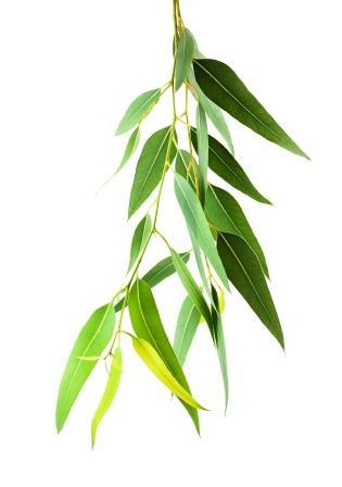 Eucalyptus globulus leaves