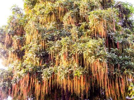 Indian Oak, Freshwater Mangrove, Barringtonia acutangula