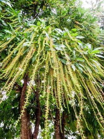 Indian Oak tree