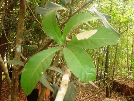 Samudraphala leaves