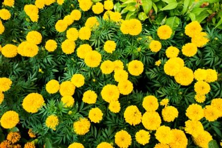 African marigold, mexican marigold