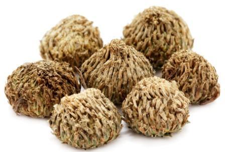 anacyclus pyrethrum seeds