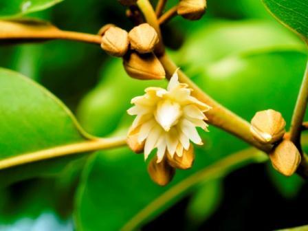 Spanish cherry - Mimusops elengi flower with bud