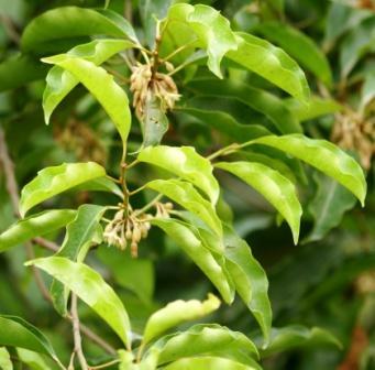 bakula - Bullet wood leaves twig flower
