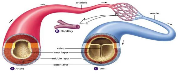 Difference between Arteries and Veins (Table ...