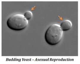 asexual reproduction in yeast