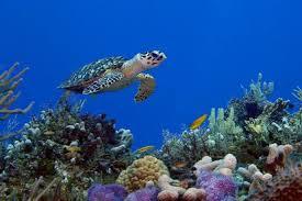Turtels - Often seen snorkeling in Similan Islands