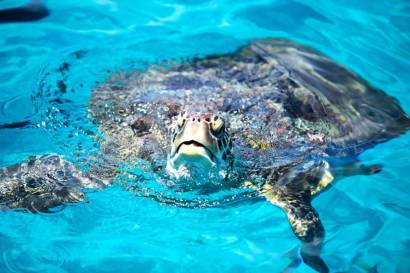 Similan Islands - Turtle
