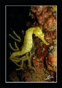 Sea Horse at Koh Doc Mai Phuket - Image by Adriano Trapani