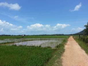 Koh Yao Noi Rice Paddy