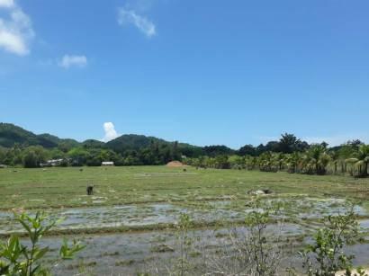 Rice Field @ Koh Yao Noi Tour