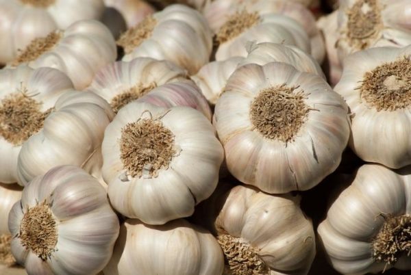 GOOD KIND OF GARLIC CULTIVATION