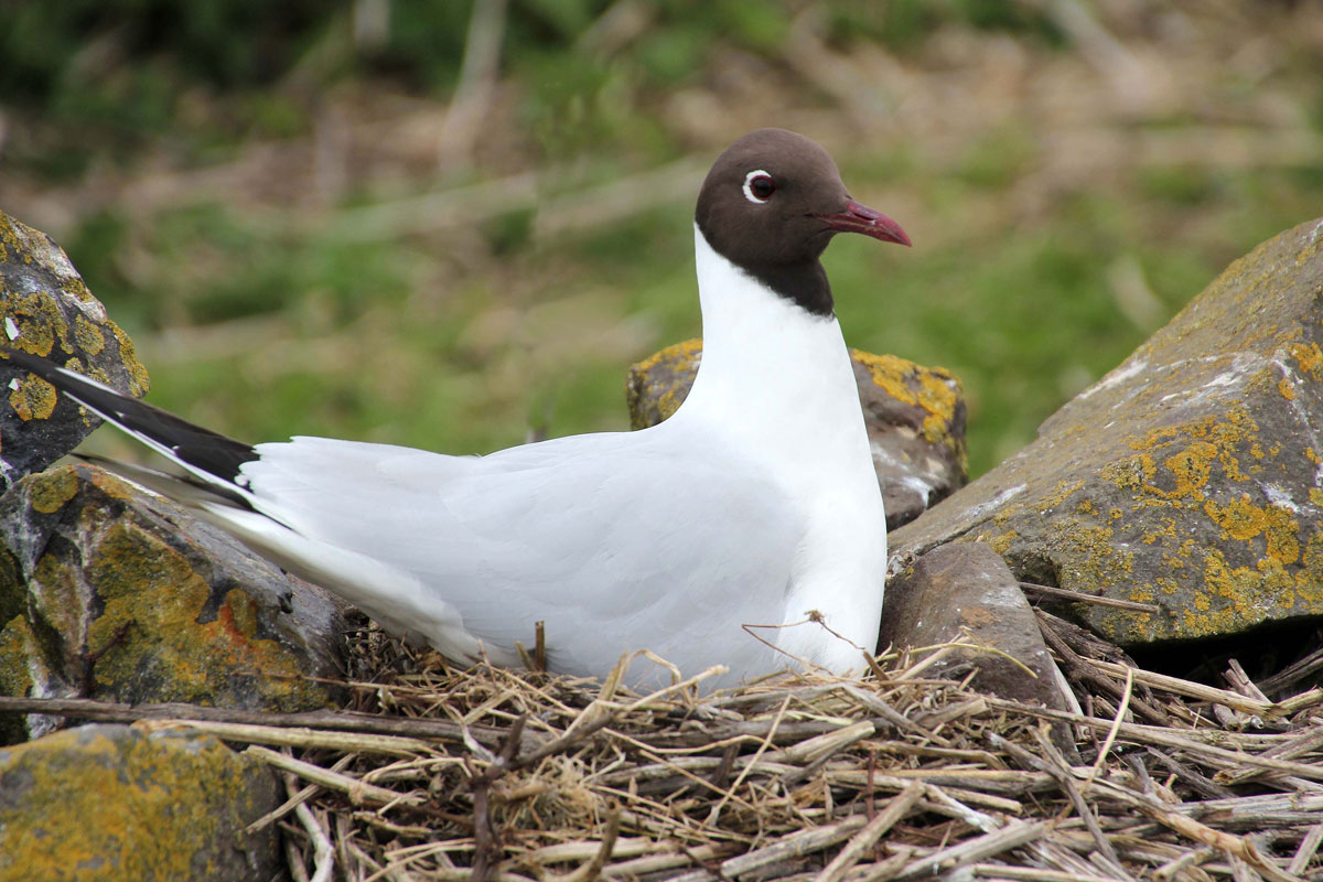 Black-Headed Gull on the nest