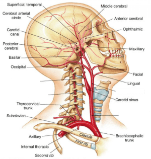 Muscles of the Head and Neck Flashcards   Easy Notecards