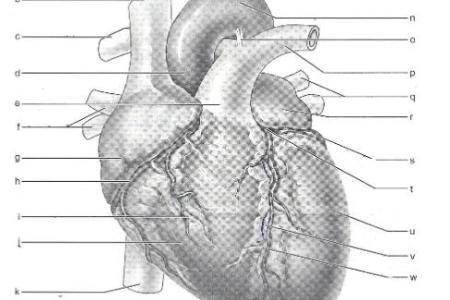 Interior heart model worksheet full hd maps locations another heart lab figure the three layers of the heart wall video lesson transcript the three layers of the heart wall video lesson transcript study com kahn ccuart Image collections