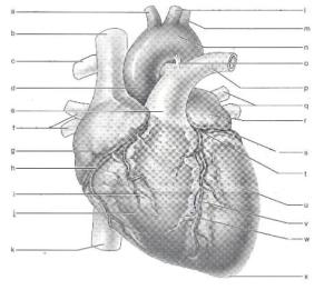 Print Exercise 30: Anatomy of the Heart flashcards | Easy Notecards